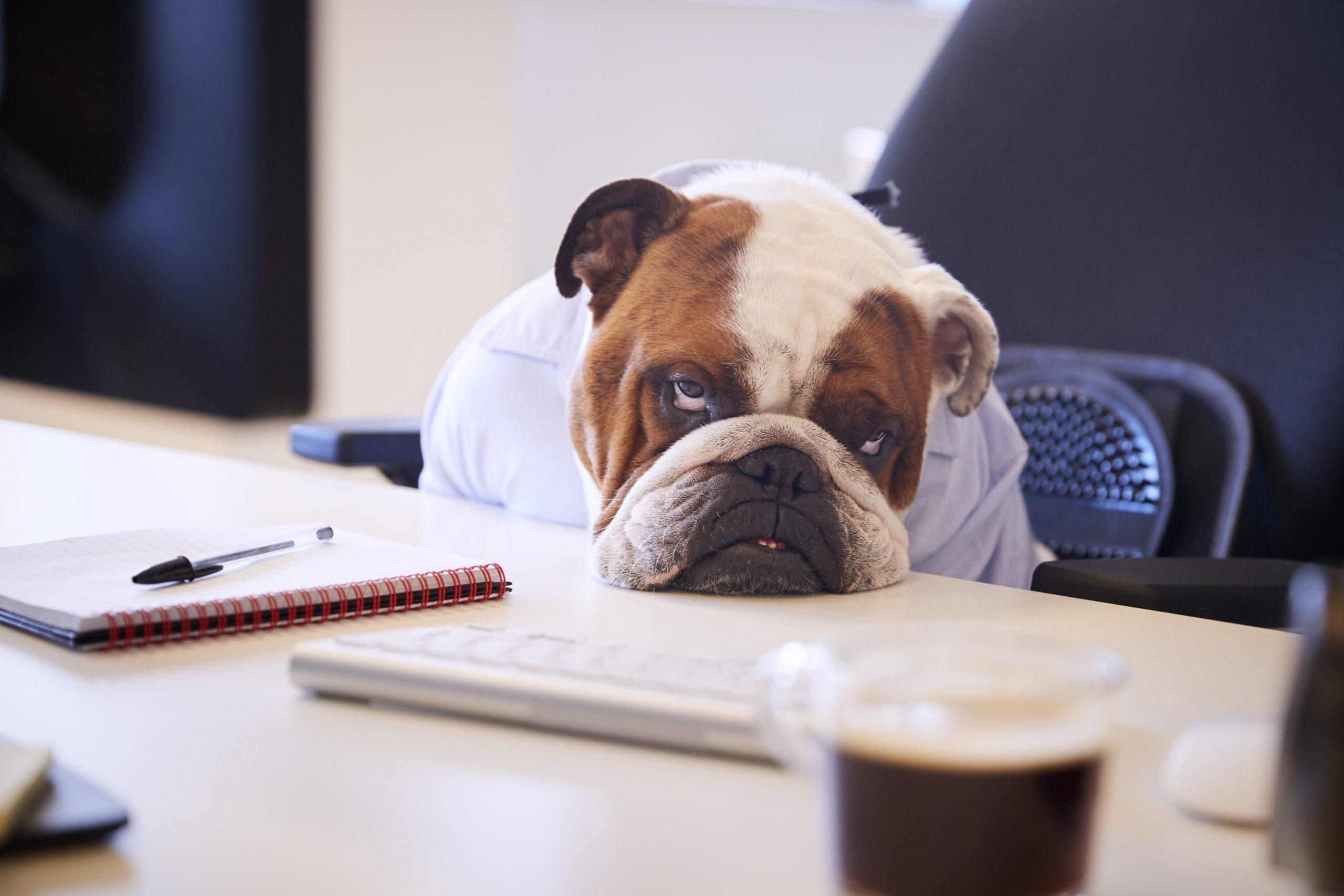 Le museau d'un chien bulldog british affalé tristement sur un bureau